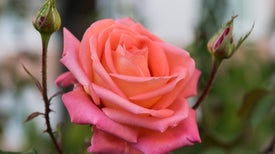 Bionic Roses Implanted with Electronic Circuits