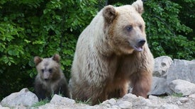 Damaged Bears Find Solace in Rehab