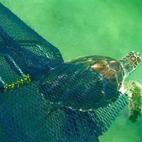 Trawls and Trash Represent One-Two Punch for Threatened Turtles [Slide Show]