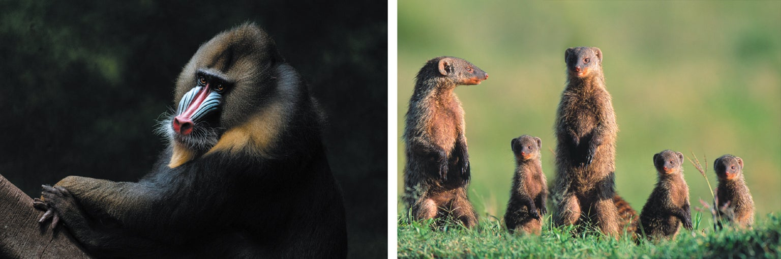 Mandrills and mongooses