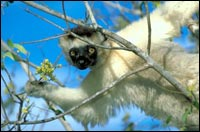 Verreaux¿s sifaka lemur (Propithecus verreauxi)