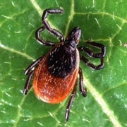 New Cause for Lyme Disease Complicates Already Murky Diagnosis