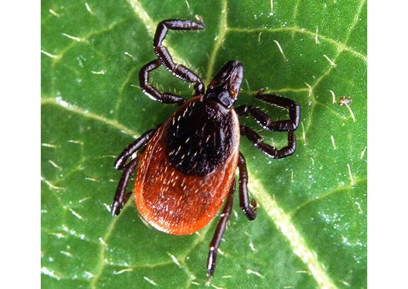 New Cause for Lyme Disease Complicates Already Murky