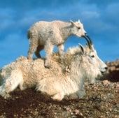 Mountain Goat: