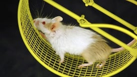 Flexible Spinal Implants Help Paralyzed Rats Walk Again