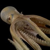 <em>Octopus salutii,</em>