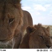 LIONS UP-CLOSE: