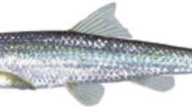 Freshwater Fish Are Dying at Alarming Rates
