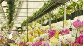 The Other Orchid Thief: Virus Ravages the Popular Flower [Slide Show]