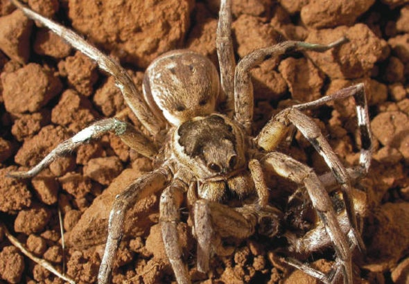 Cannibal Spiders May Have Poor Impulse Control