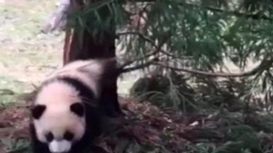 Panda Bei Bei Takes His First Stroll