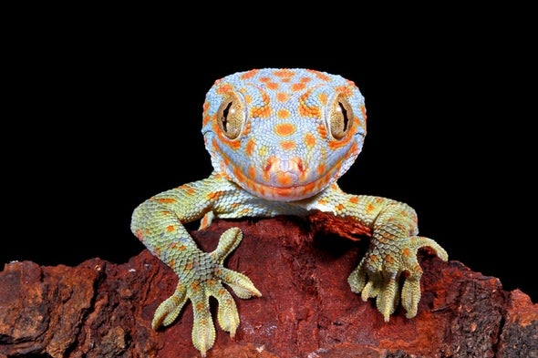 A Once Common Gecko Is Vanishing from Parts of Asia