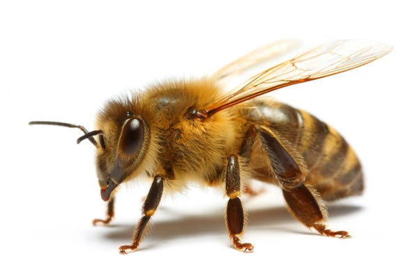 Beekeepers Seek Resistance to the Honeybee's Most Fearsome Enemy