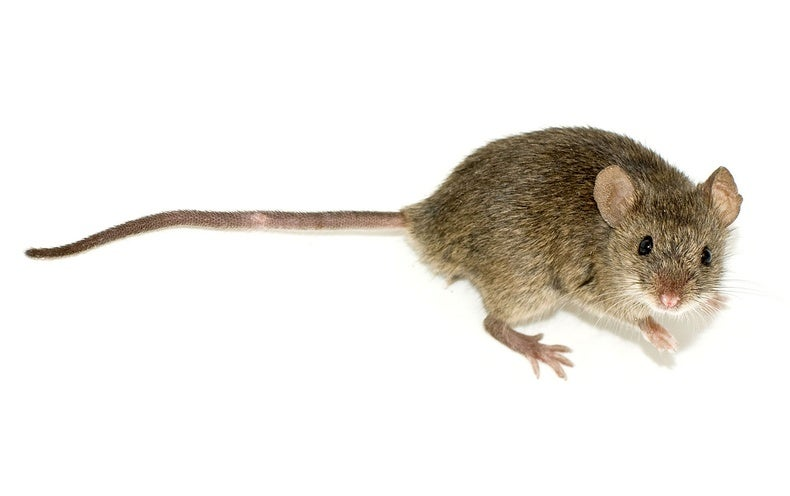 Of Mice and Men: Study Pushes Rodents' Home Invasion to 15,000 Years Ago