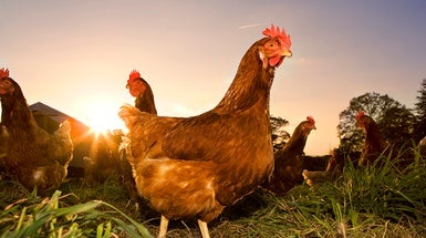 Scientists Are Monitoring West Nile Virus in Los Angeles Using Chickens