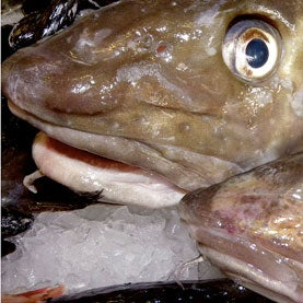 Warming Waters Further Imperil Atlantic Cod