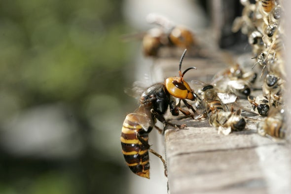 Just How Dangerous Is the 'Murder Hornet'?