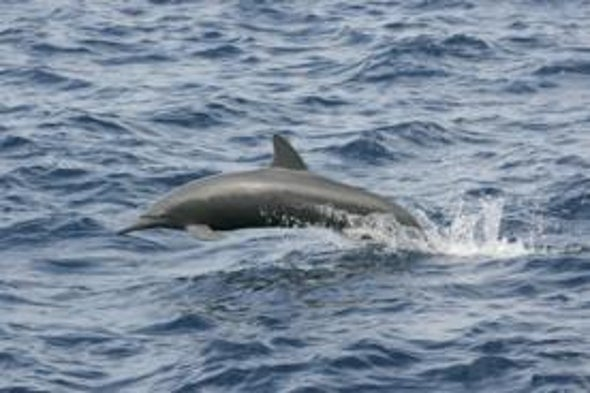 Mass Appeal: To Study Backward-Finned Dolphin, Researcher Sources Crowds for Cash