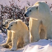 Polar Bear - proposed for listing