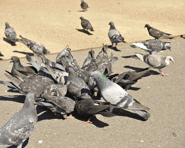 Pigeon Pb Proxies Could Cut Kids' Blood Tests