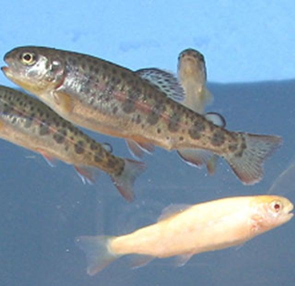 Salmon Spawn Trout
