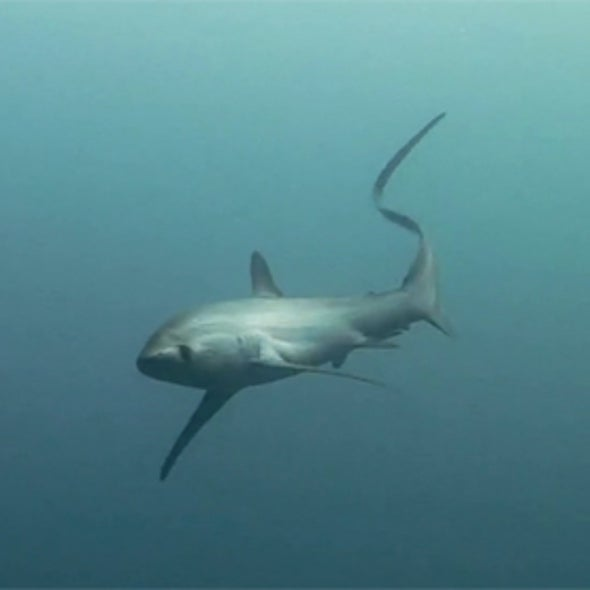 Sharks Whip Their Tails to Stun Prey [Video]