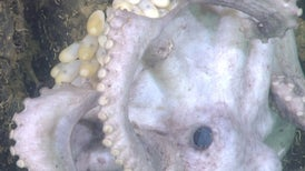 Mother Octopus Sets Longest Egg-Tending Record: More Than 4 Years on Baby Watch