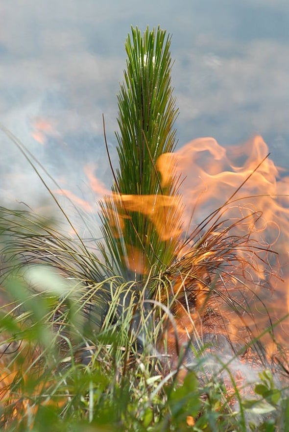 Can Flamethrowers Help Trees Migrate?