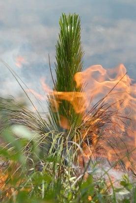 longleaf pine on fire