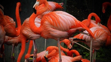 Neuromechanics of Flamingos' Amazing Feats of Balance