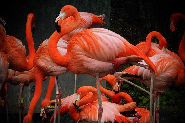 Neuromechanics of Flamingos' Amazing Feats of Balance