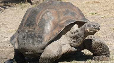 Genetics Probe Identifies New Galapagos Tortoise Species