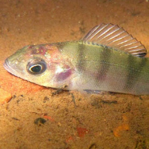 Pill to Gill: Antianxiety Drugs Flushed into Water May Be Making Fishes Fearless
