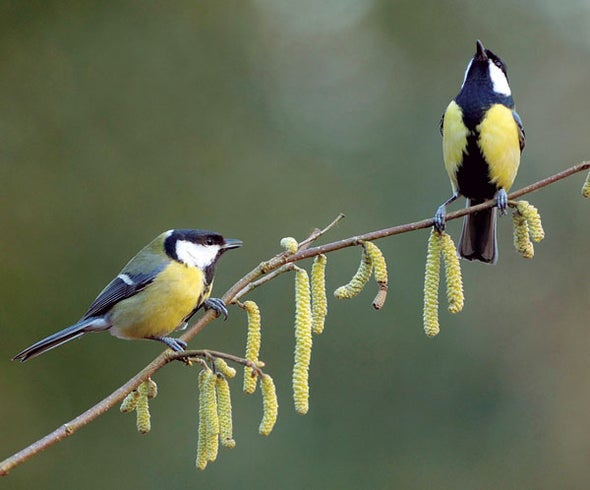 The Great Tit Chooses Love over Food