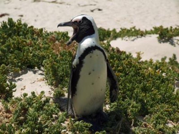 African Penguins Pulled into an Ecological Trap