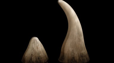 "The Hard Truth about the Rhino Horn ""Aphrodisiac"" Market"