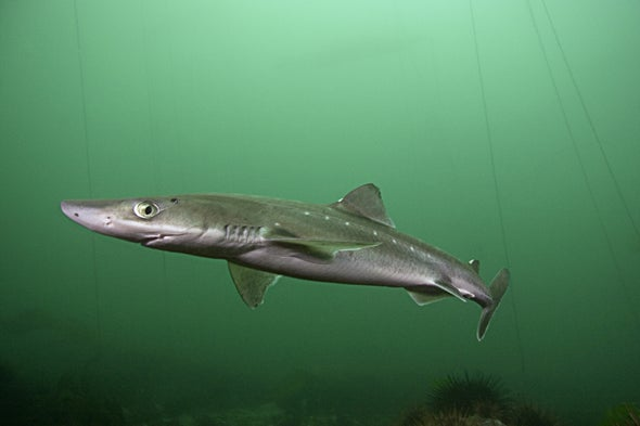 Harvesting Sharks Could Be Key to Saving Them