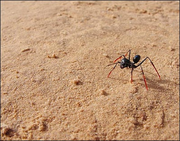 Ants on Stilts