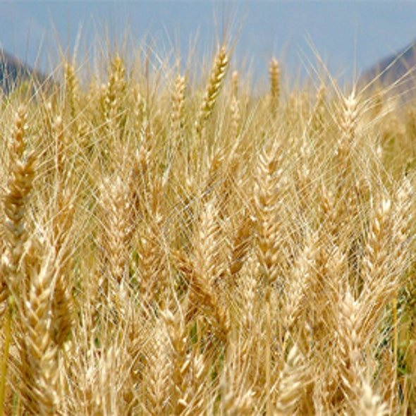 Could Wheat Feed Africa?