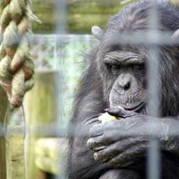 NIH Told to Retire Most Research Chimps