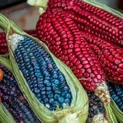 Small Farmers in Mexico Keep Corn's Genetic Diversity Alive
