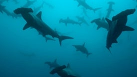 Total of 79 Potentially New Shark Species Found