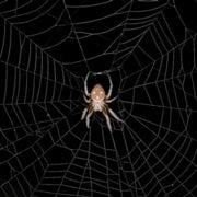 Spider Gene Study Reveals Tangled Evolution