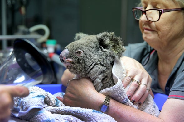 Struggling Koalas Get Help from a Bold Breeding Program