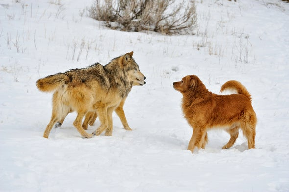 Dog Domestication May Have Begun because Paleo Humans Couldn't Stomach the Original Paleo Diet