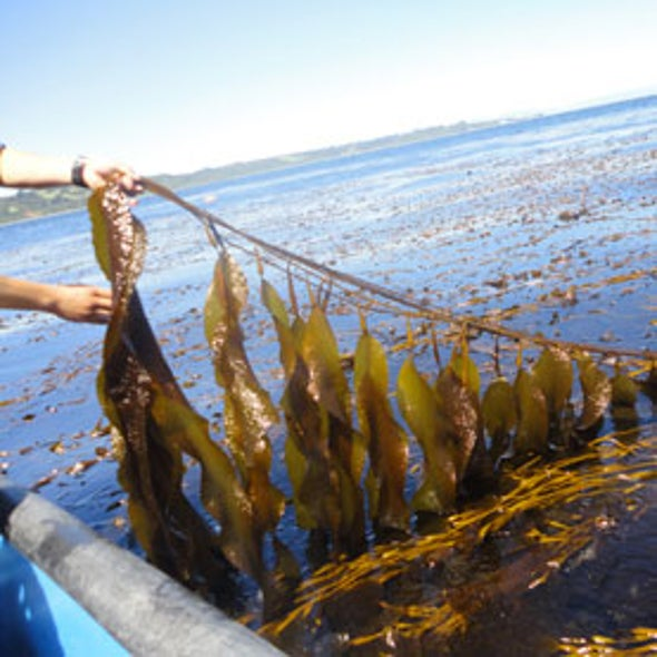 Genetically Engineered Stomach Microbe Converts Seaweed into Ethanol