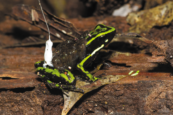 Poison Frog Fathers Ferry Their Tadpoles Great Distances