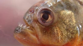 Singing Fish Reveal Underwater Battles in the Amazon
