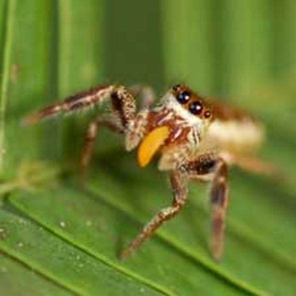 Unusual Spider Species Passes Up Live Prey for Plants