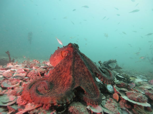 Octopuses Are Surprisingly Social--and Confrontational